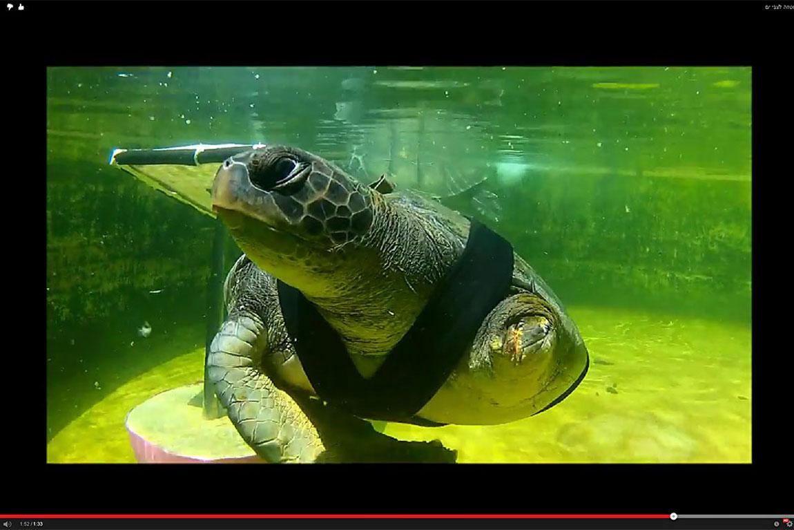 חופש בתהליך עיצוב הפרוטזה במכון להצלת צבי ים במכמורת