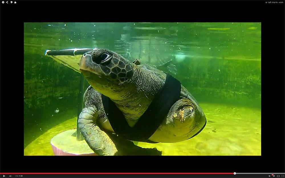 חופש בתהליך עיצוב סנפיר הגב. עכשיו הוא יכול לשחות בלי להסתחרר כלפי מטה