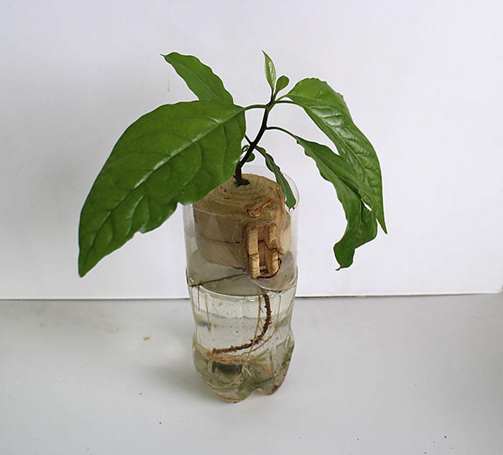 כך נראה מודל של מוקש נגד אדם שיוצר מעץ ומגופו נבט גרעין אבוקדו