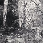 שאול המלך ויערות מואיר