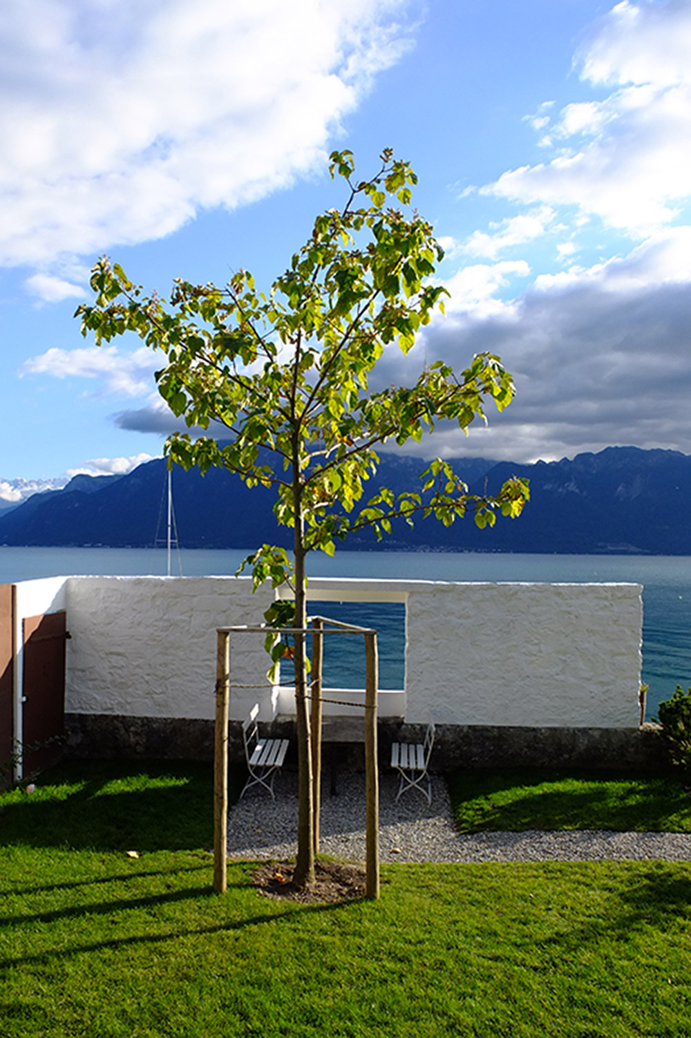 Villa Le-Lac 20.9.15. עץ הפואולוניה החדש שנשתל במקומו של העץ שנעקר יוחלף בנצר של העץ המקורי, לכשיגדל